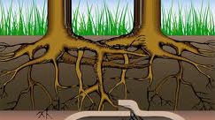 Tree Roots are a major cause of blocked drains